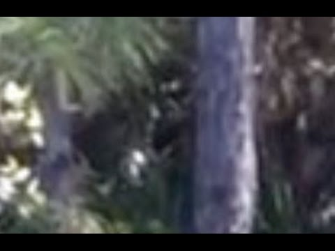 Dangerous sneeky Bigfoot and Terrifying encounters during research
