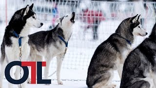 Iditarod sled dogs test positive for opioids | Outside the Lines | ESPN