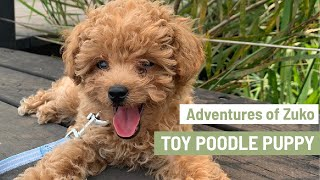 Cute Toy Poodle Puppy | Mini Poodle Puppy | Adventures of Zuko