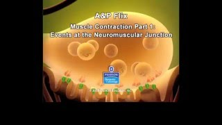 Neuromuscular Junction- Excitation
