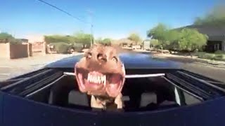 Weimaraner - Jowls Flapping - Sunroof Window Dog Driving
