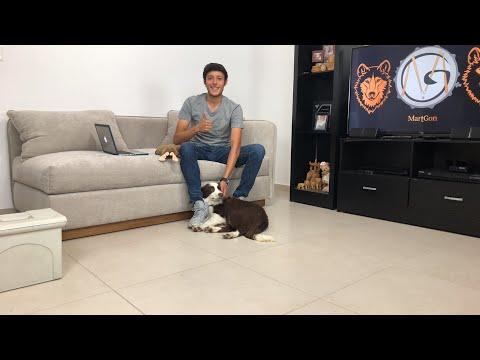 Educando un perro EN VIVO 🔴