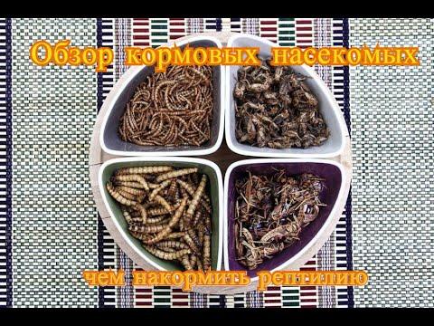 Обзор кормовых насекомых/ чем накормить рептилию /Сверчки/ саранча/ мучной червь/ зофобас