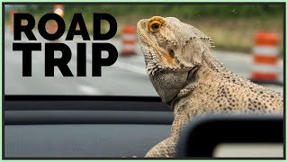 taking-my-bearded-dragon-on-a-road-trip