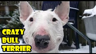 Crazy Dog Bull Terrier, Bullterrier Happy Dog, Energetic, Super Games, Funny Dogs