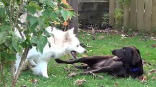 Cute And Adorable Dogs Playing Together Outside (chocolate Labrador, Husky And Shih Tzu)