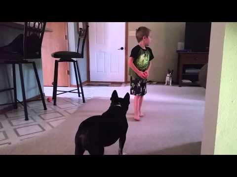 Soren David boston terrier