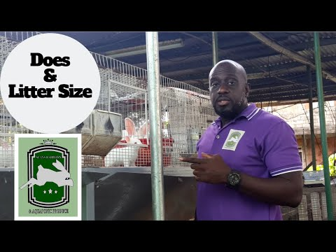 Trinidad Rabbit Farming - Does & Litter Size