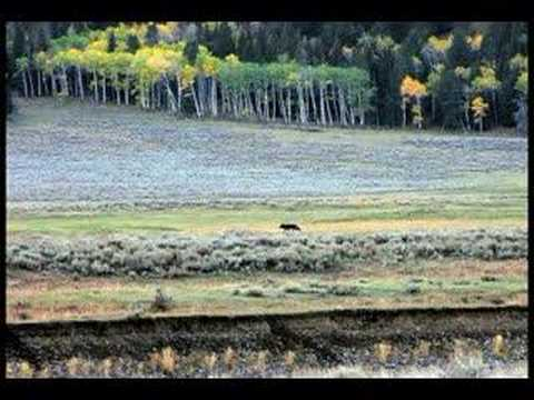 Yellowstone Grizzly Encounter