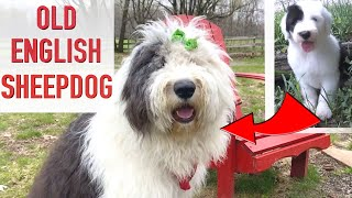 Top 10 Reasons To Get An Old English Sheepdog