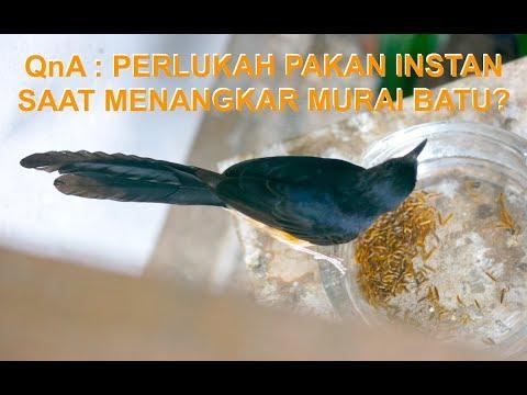 QnA : Perlukah Pakan Tambahan Instan (Voer) Saat Menangkar Burung Murai Batu?
