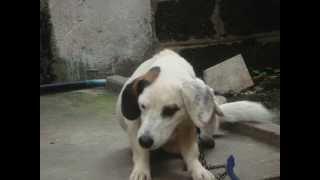 Beagle Dog Name Choco