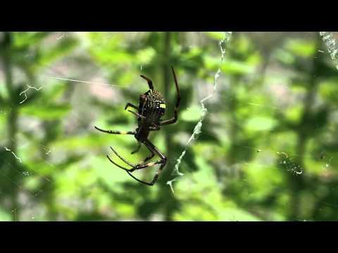 Orb-Weaver spider courtship behaviour