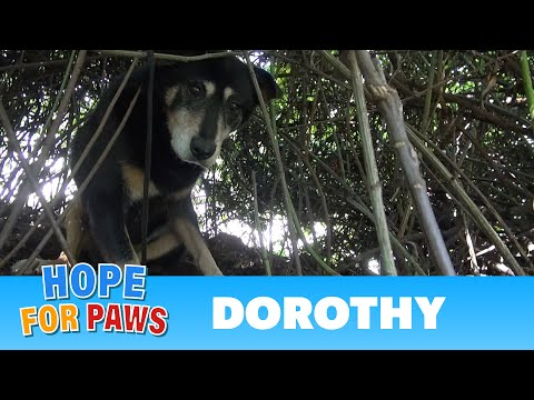 Hope For Paws: Dorothy a Senior Dog Bites Her Rescuer But Then Makes an Incredible Transformation. en streaming
