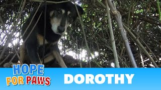 Hope For Paws: Dorothy a Senior Dog Bites Her Rescuer But Then Makes an Incredible Transformation. thumbnail