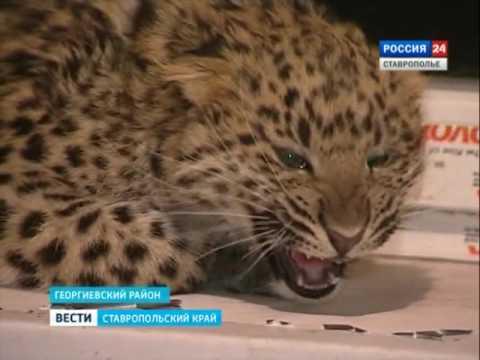 Купить леопардов в интернете