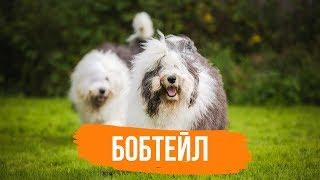 Бобтейл - Интересные факты о собаке