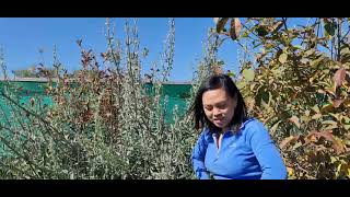 Growing White Sage successfully