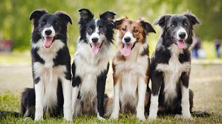 Border Collie   Smartest Dog Right For You?