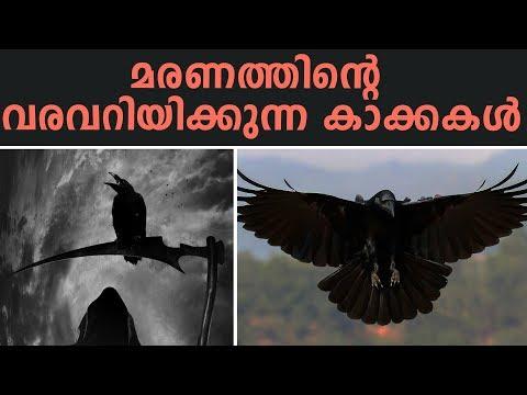 കാക്ക എന്ന മരണത്തിന്റെ ദൂതൻ | Thrilling Facts And Beliefs About Crow (Raven)