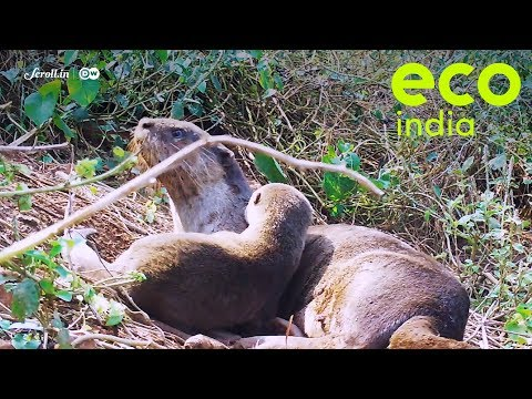 Eco India: An unexpected dweller of Goa's mangroves is key to maintaining the ecosystem balance