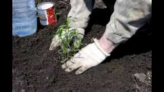 Тархун выращивание и пересадка