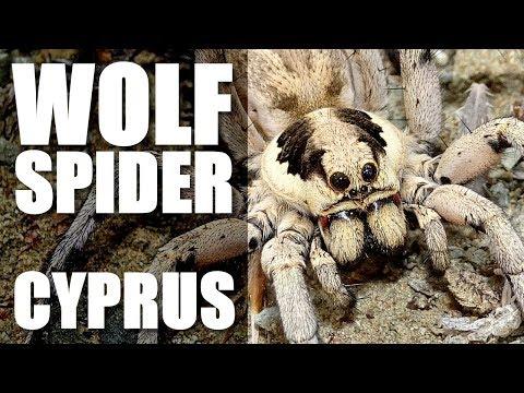 HUGE WOLF SPIDER Cyprus