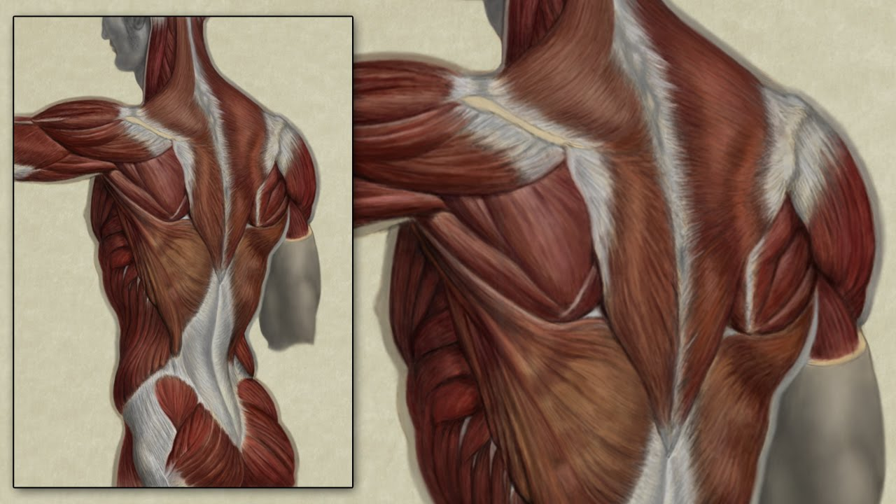 Back Muscle Anatomy Study - Digital Speed Painting - YouTube
