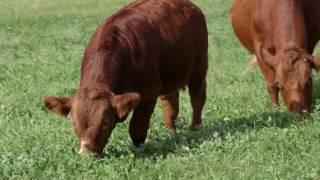 Vedette agricole de la Vallée de la Châteauguay - Production de bœuf
