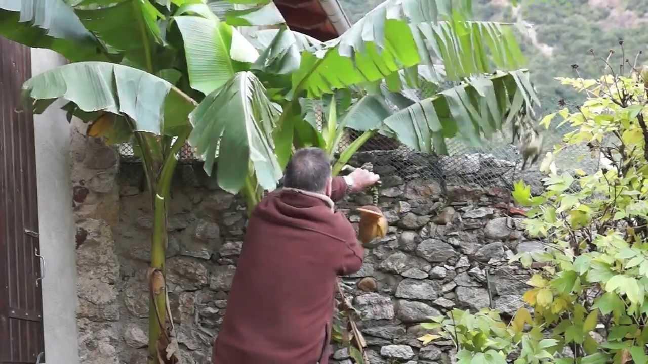 coupe des bananiers avant le gel - youtube