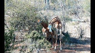 Дикая природа Африки Жирафы учатся спариванию друг на друге Giraffes on each other learn to mate