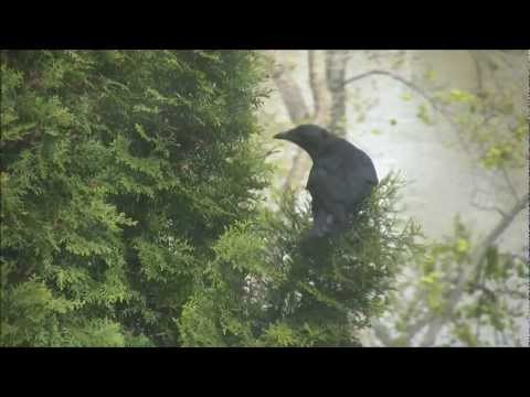 Mother rabbit battles hungry crows on banks of the Rock River