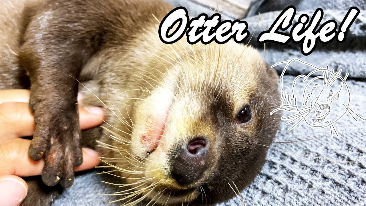 The otter's sleeping face gets cuter and cuter with each passing day. [Otter life Day 581]