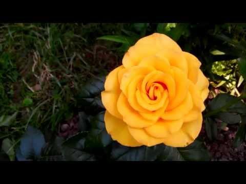 Сорт роз керио