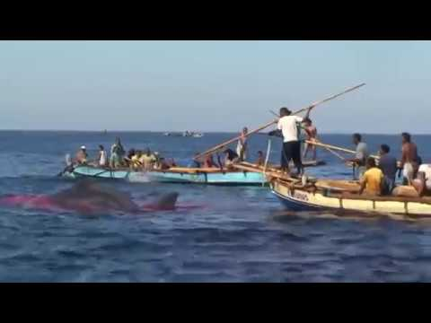 Whaling 2019 | Traditional Whaling | Real Whale Hunting | So Scrary - Viet Top 10