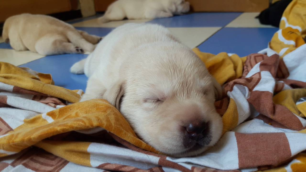 Lab Puppies Open Their Eyes For The First Time 12 Days Old Youtube