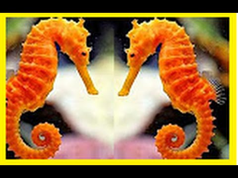 SEAHORSE Documentary National Geographic For KIDS 2016 BBC