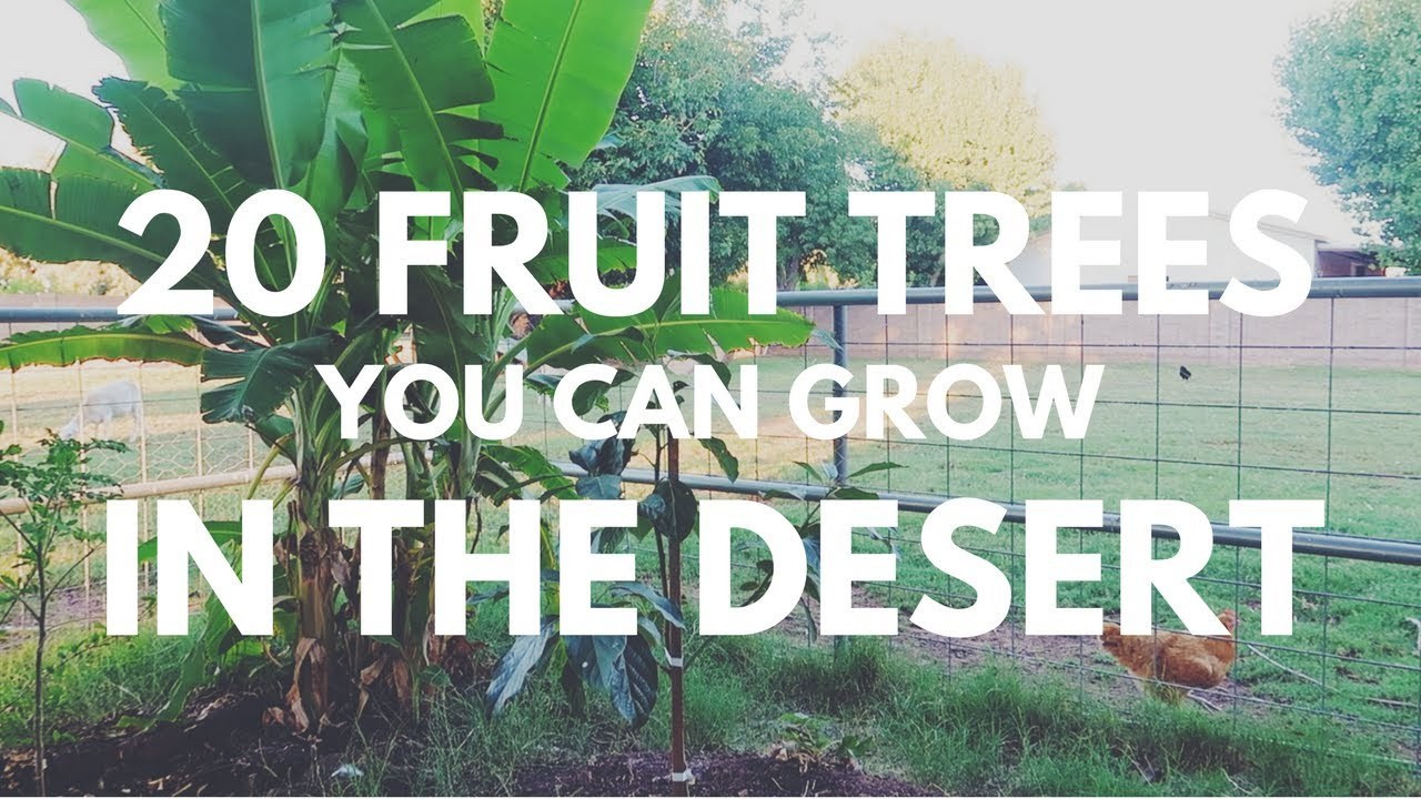 20 fruit trees you can grow in the desert youtube