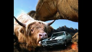 Funny Video | Unbelievable | Stealing a Cow in a Small Car
