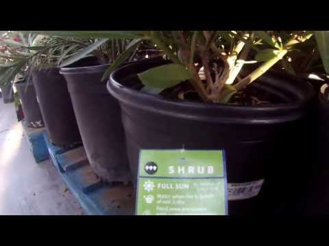 Oleander Plants at Walmart Garden Center