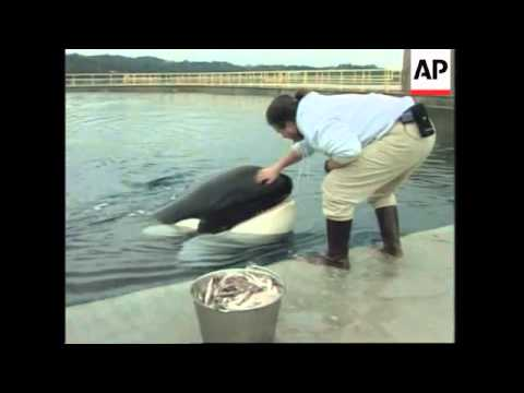 USA: OREGON: KILLER WHALE KEIKO IS DOING WELL IN HIS NEW HOME