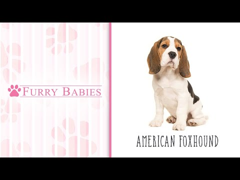 Is the  American Foxhound the right breed for you?