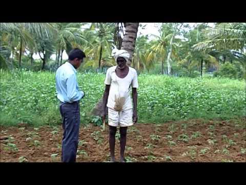 Tomato Cultivation Kannada BAIF Karnataka