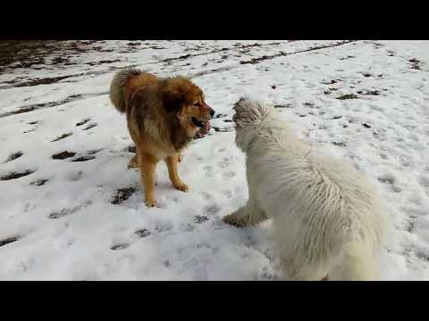 Tibetian and komondor: real big dog play