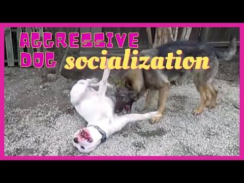 Aggressive dog socialization-Solid K9 Training