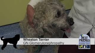 Testing For Kidney Disease In Wheaten Terriers