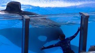 Tilikum Hugs/Kisses Trainer Daniel - Aug 18 2015 - SeaWorld Orlando