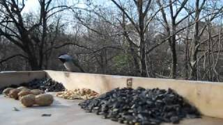 Carolina Chickadee, Tufted Titmouse, Red-breasted Nuthatch, Blue Jay - Bird Video 16