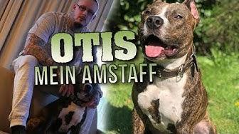 MEIN HUND ⎮ Amstaff Otis, Listenhunde, Tierschutz ⎮ Max Cameo
