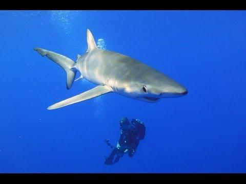 Azoren - Tauchen mit Mobulas und Blauhaien - eine Sondertour von Tauchertraum